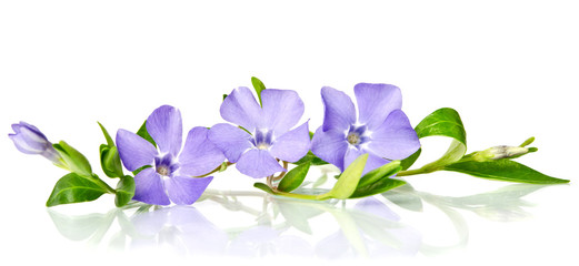 Beautiful blue periwinkle isolated on white