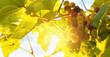 Fresh grape vine in bright sunshine