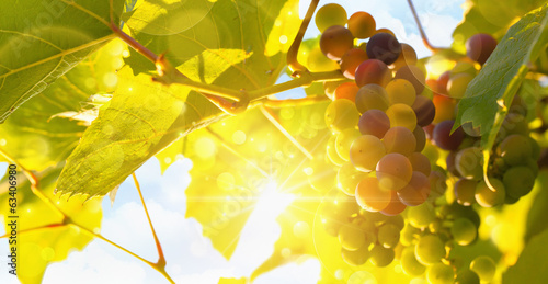 Fresh grape vine in bright sunshine
