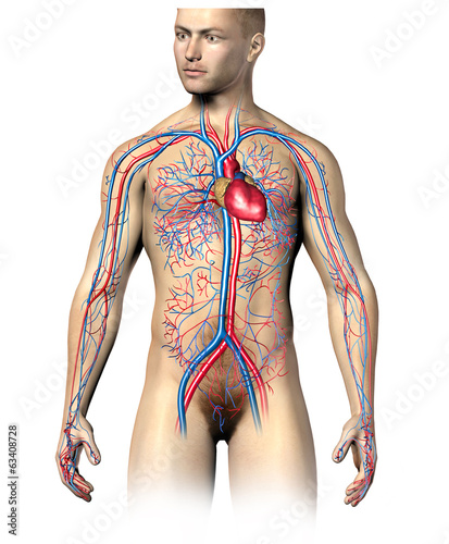 Man human circulatory system, upper part.