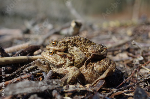 mating two brown toad