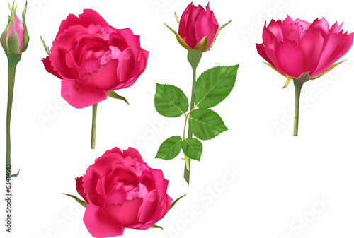 set of five bright rose flowers and buds
