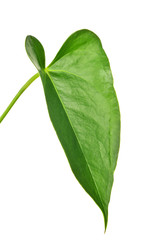 green isolated anthurium leaf isolated on white