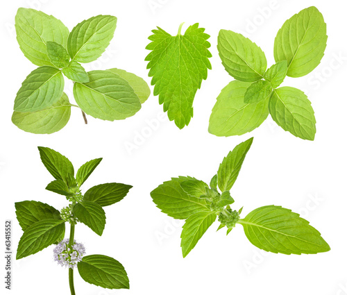 isolated set of green mint branches