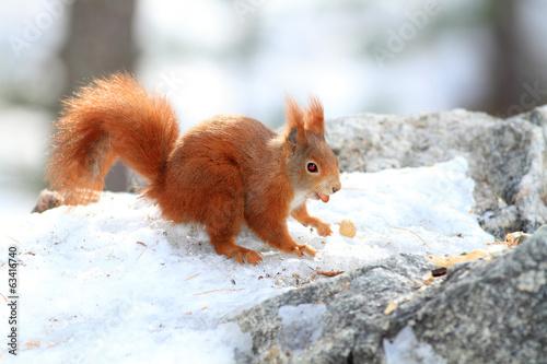 scoiattolo rosso roditore mentre mangia in stagione invernale