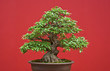 canvas print picture - Bonsai