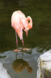 Flamingo in the water cleans feathers