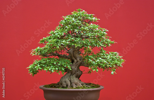 canvas print picture Bonsai