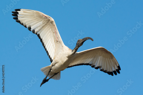 Sacred Ibis (Threskiornis aethiopicus) in flight
