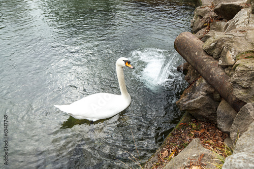 swan in a reservoir near a downlow pipe