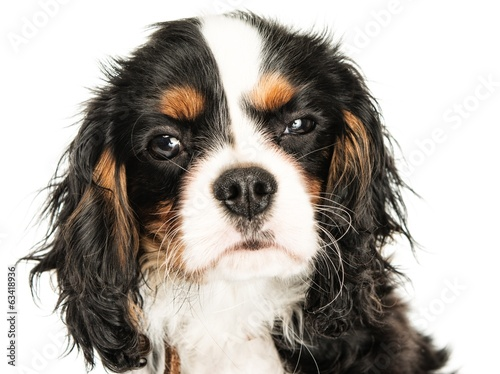 Cavalier King Charles Spaniel isolated on white background