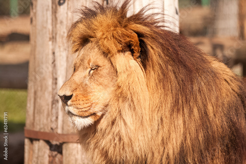 Lion enjoy on the sunny day