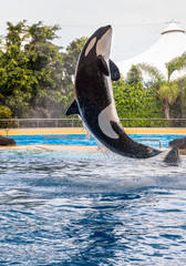 A killer whale raising during a water show