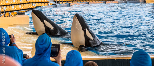 A couple of killer whales greeting the audience during a show