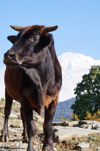 Water buffalo at the trail to Annapurna Range, Nepal.