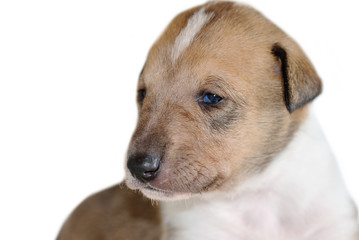 Portrait of adorable Smooth Collie puppy isolated on white