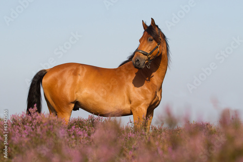 KWPN horse in the Dutch heathland