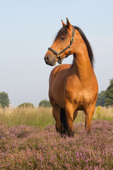 KWPN horse on heather