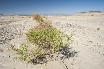 Small desert bush on a rocky desert landscape
