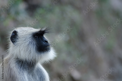 portrait of grey langur, wildlife , India