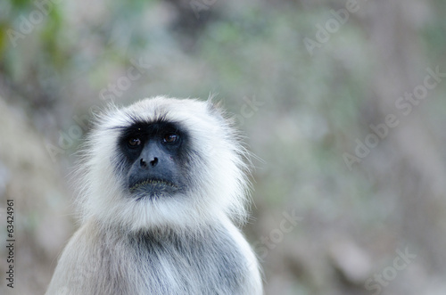 portrait of grey langur, wildlife , Rajsthan, India