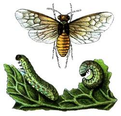 Insect pest Turnip sawfly (Athalia rosae).