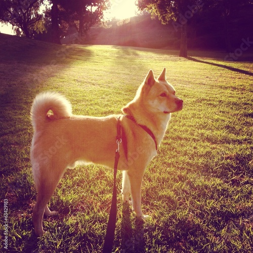 Beautiful dog (Jindo breed) at park
