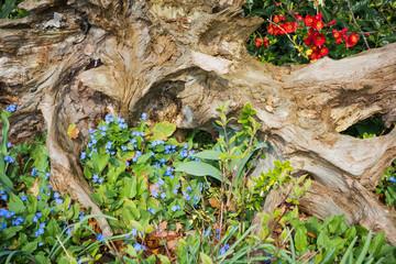 Alte Baumwurzel als Gartendekoration