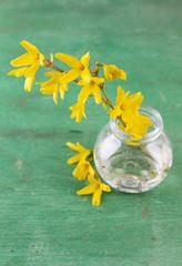 Beautiful Forsythia blossom in transparent jar