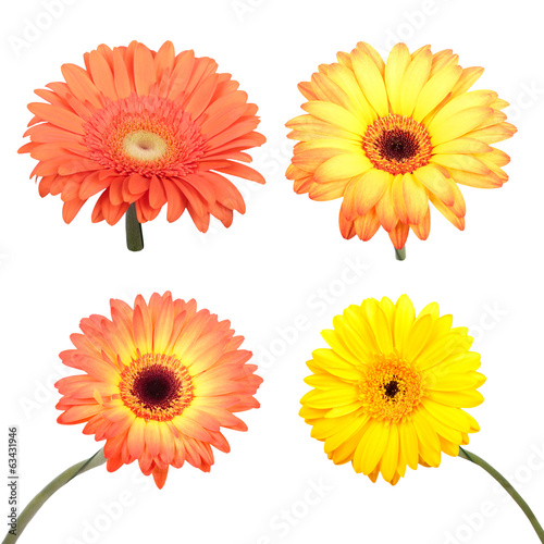 Set of Gerbera flower. Hight res. All in focus
