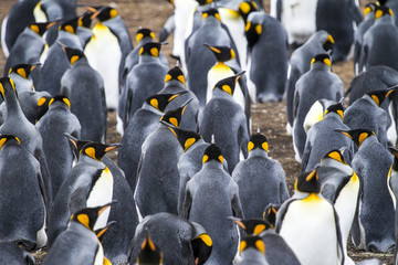 Colony Of King Penguins In Bluff Cove