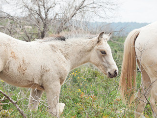 cream foal at freedom in mountain. Israel
