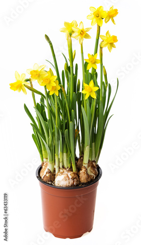 Papiers peints Narcisse daffodils in a flower pot