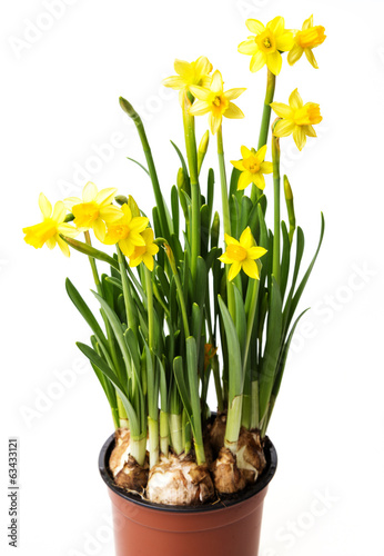 daffodils in a flower pot