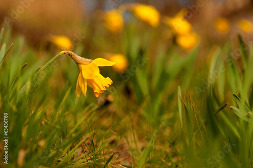 daffodil on bright spring day