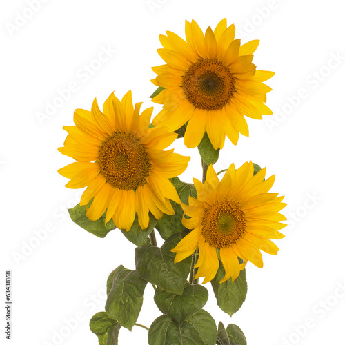three flowers sunflower full length  on stem with leaves isolate