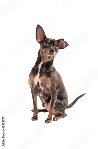 Chihuahua dog sitting on white
