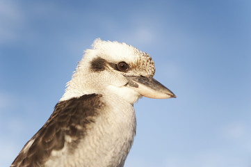 Kookaburra side view