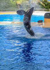 Killer whale splashing water while jumping