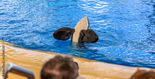 Killer whale greeting the audience with its flippers