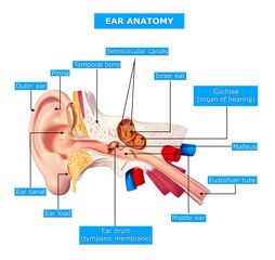 anatomy of human ear with nanes