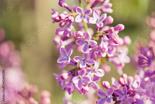 Fragrant lilac blossoms (Syringa vulgaris).