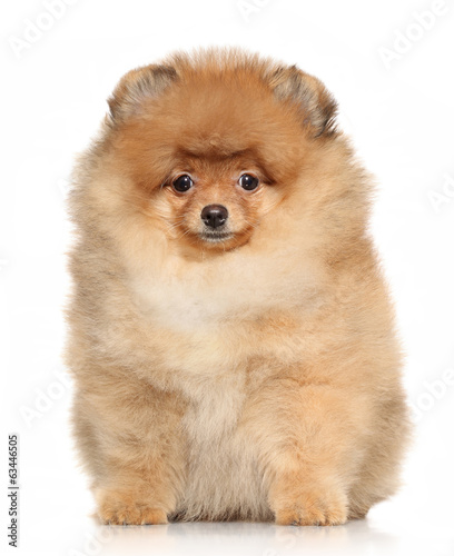 canvas print picture Spitz puppy