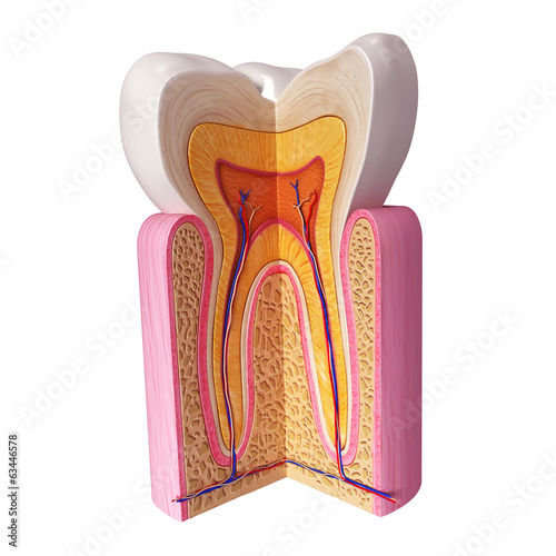 3D Illustration of teeth anatomy