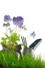 attrezzi giardinaggio e primula verticale fondo bianco