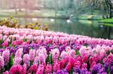 Fototapety Pink hyacinths in Keukenhof Gardens, Netherlands