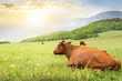 Cows on green meadow.