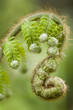 Green fern leaf buds