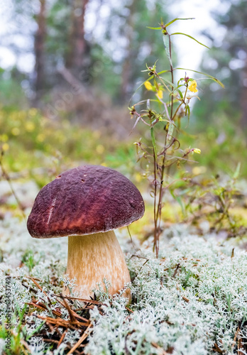 Forest edible mushroom in the grass closeup