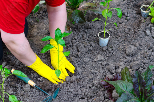 Female gardener planting seedling of paprika